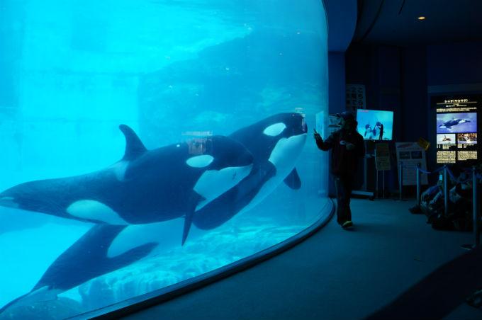 名古屋港水族館 シャチ公開トレーニング