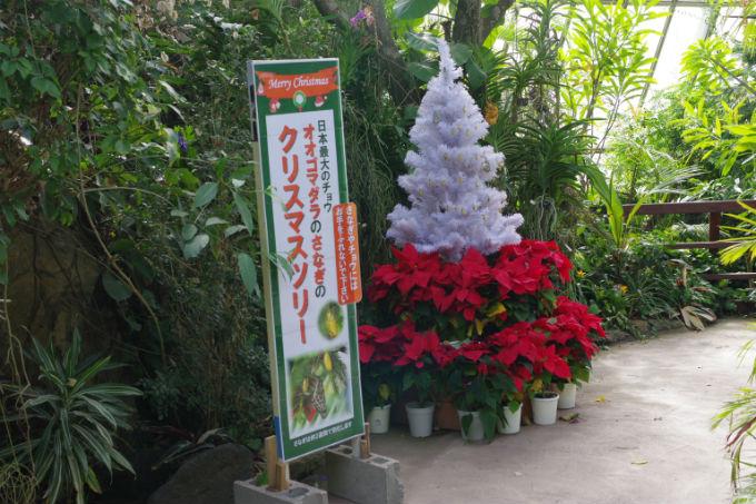 オオゴマダラ さなぎ クリスマスツリー